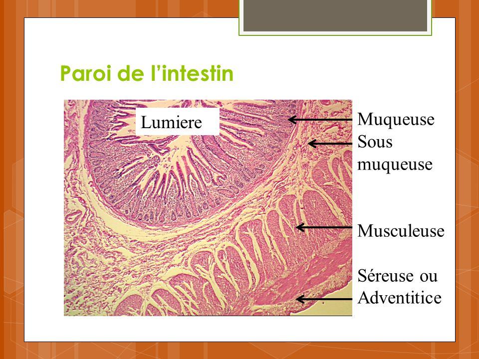 Paroi de l'intestin Muqueuse Lumiere Sous muqueuse Musculeuse