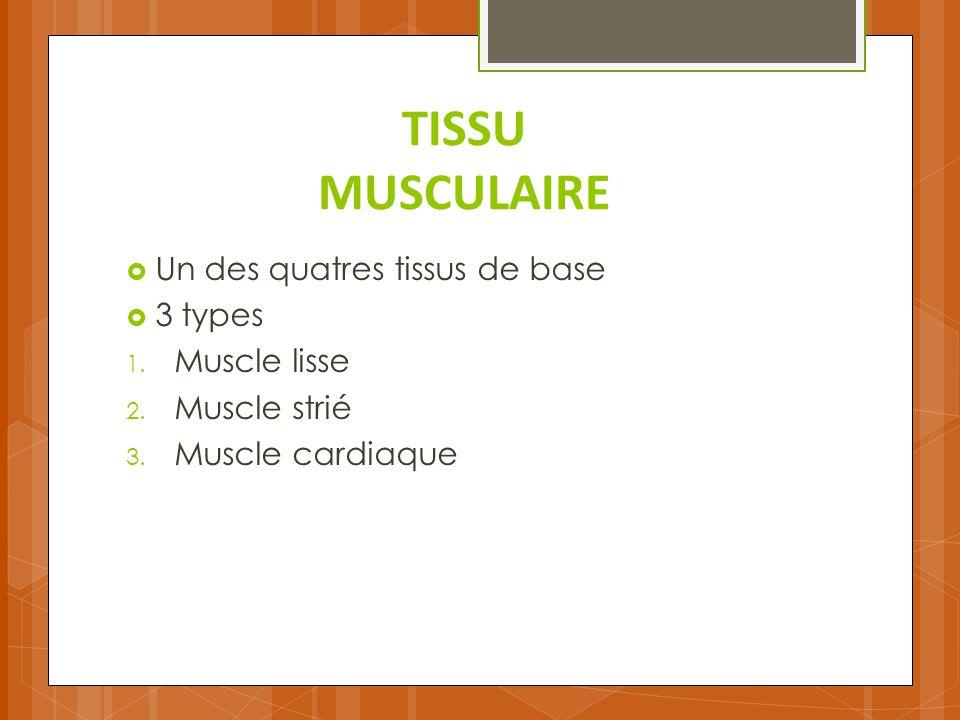TISSU MUSCULAIRE Un des quatres tissus de base 3 types Muscle lisse