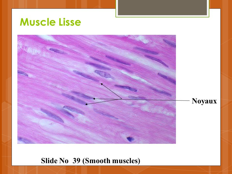 Muscle Lisse Noyaux Slide No 39 (Smooth muscles)