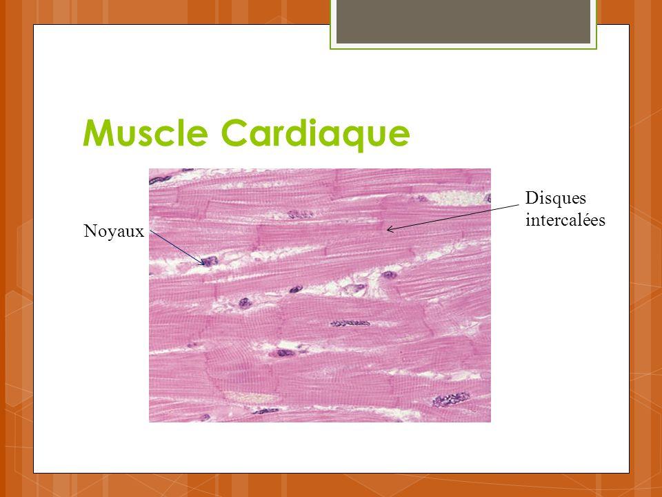 Muscle Cardiaque Disques intercalées Noyaux