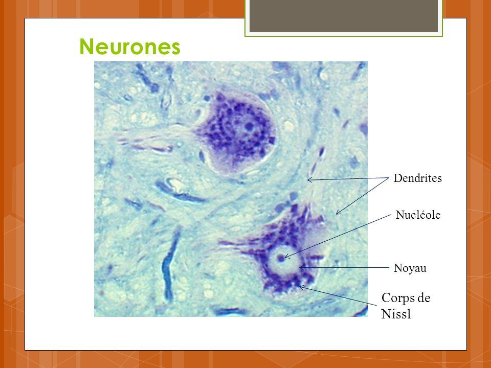 Neurones Dendrites Nucléole Noyau Corps de Nissl