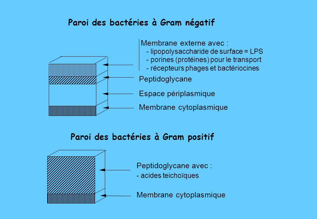 Paroi des bactéries à Gram négatif