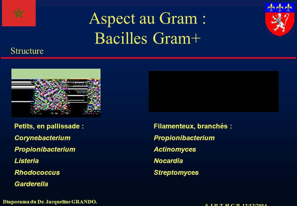 Aspect au Gram : Bacilles Gram+