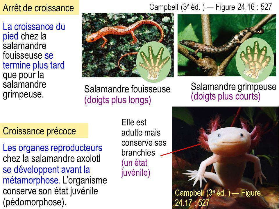 Salamandre fouisseuse (doigts plus longs) Salamandre grimpeuse