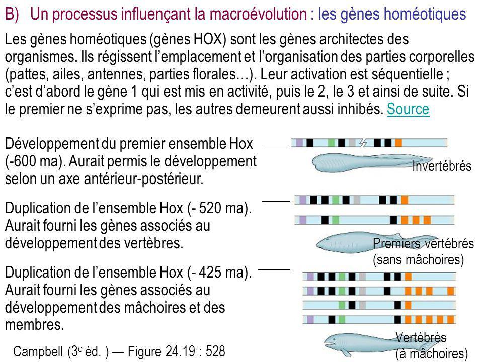B) Un processus influençant la macroévolution : les gènes homéotiques