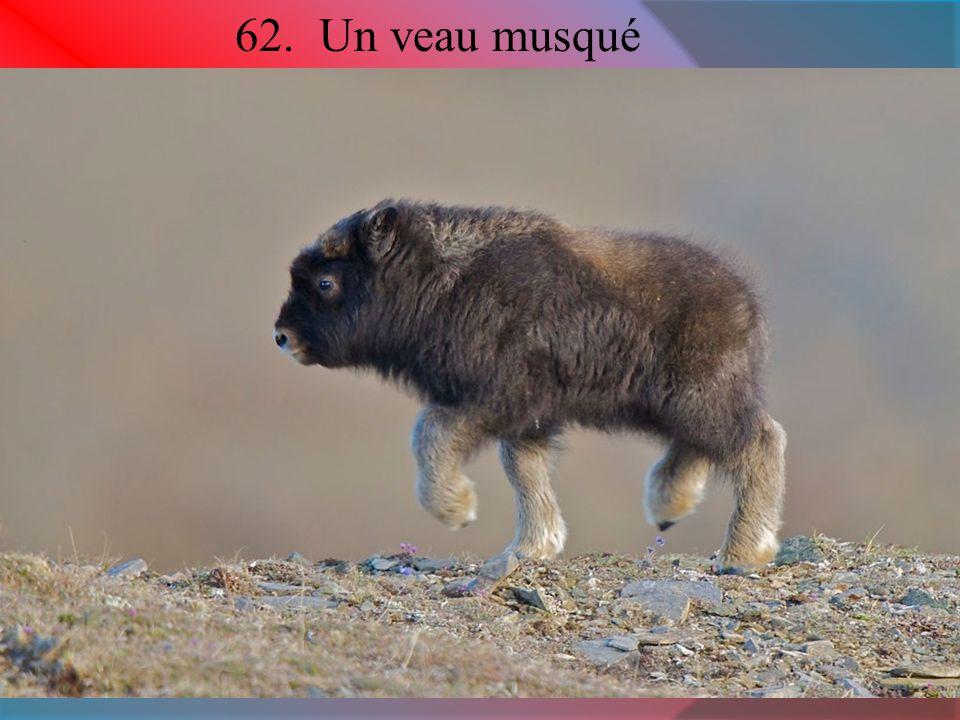 62. Un veau musqué