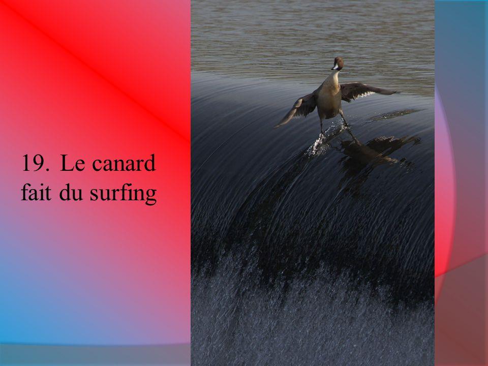 Le canard fait du surfing