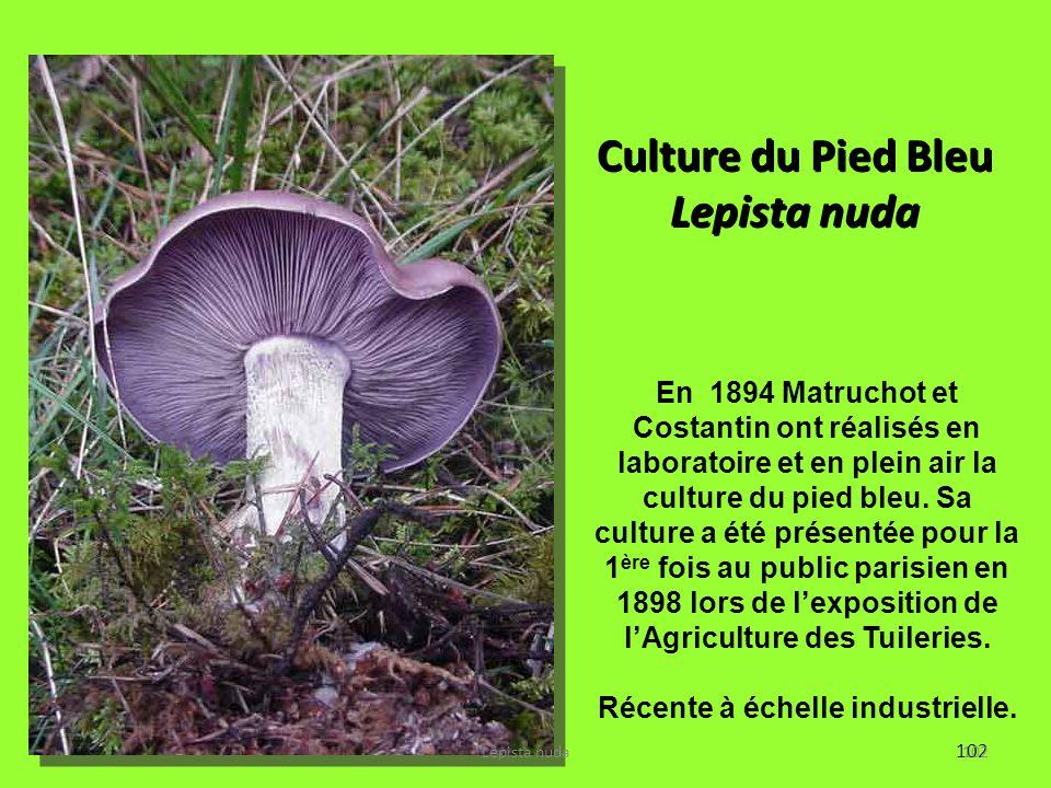 Culture du Pied Bleu Lepista nuda Récente à échelle industrielle.