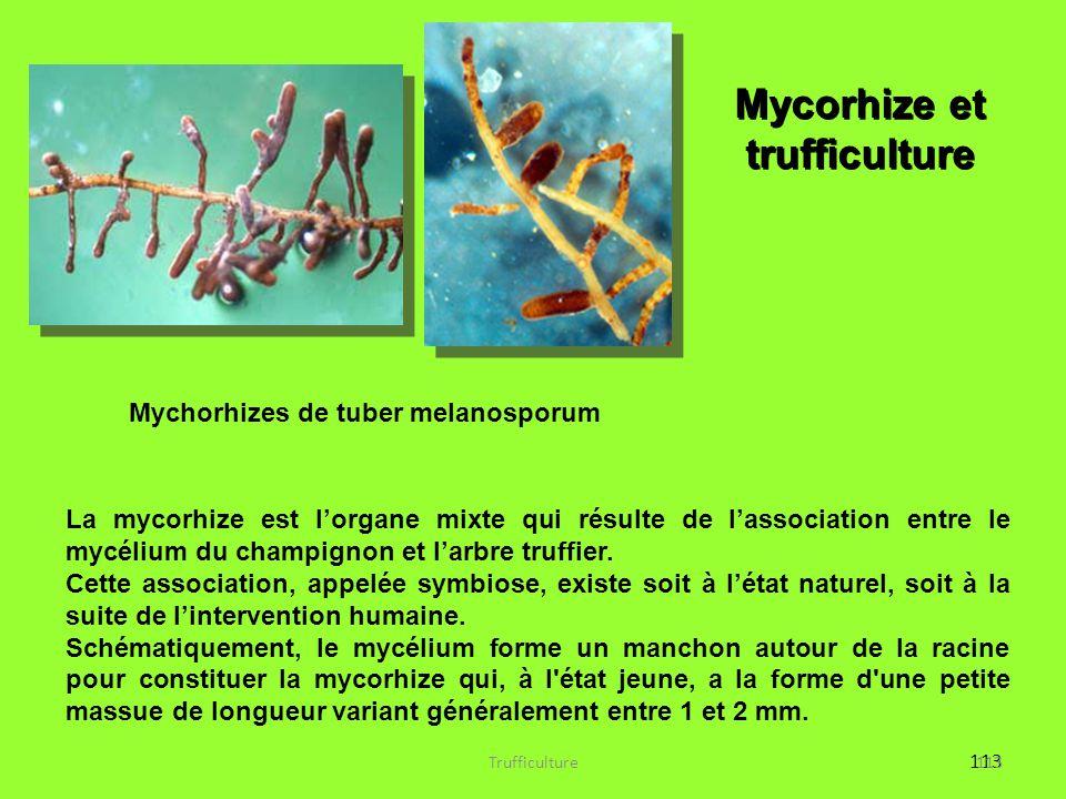 Mycorhize et trufficulture Mychorhizes de tuber melanosporum