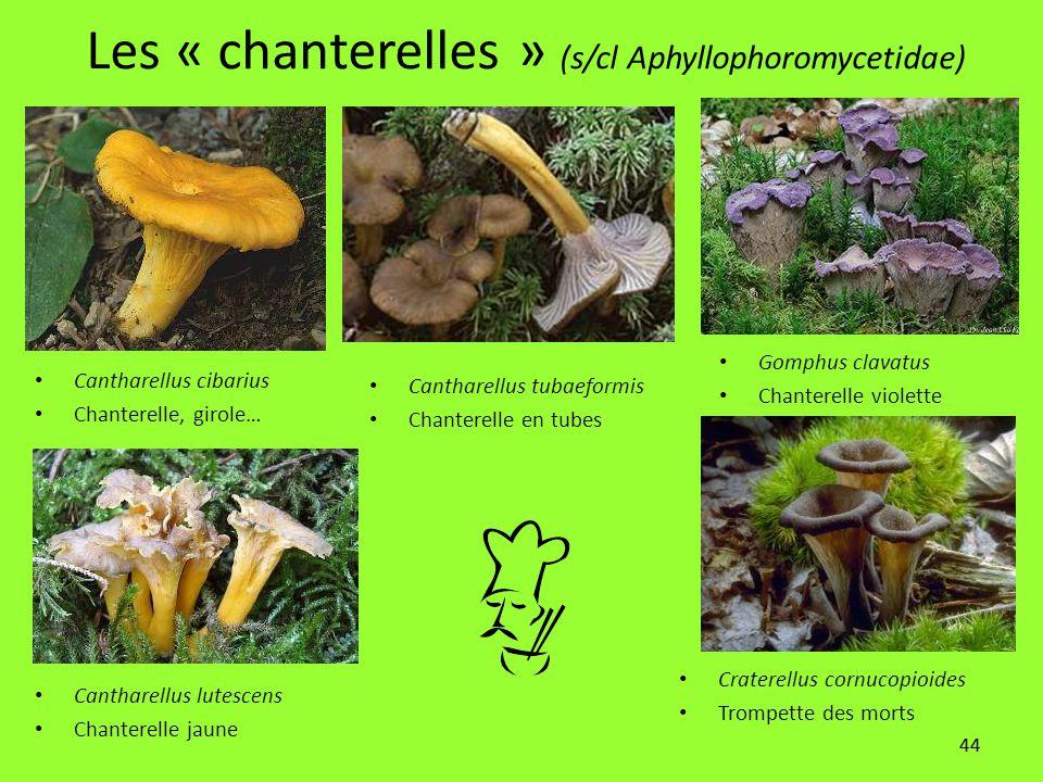 Les « chanterelles » (s/cl Aphyllophoromycetidae)