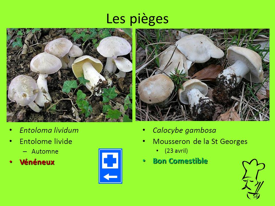 Les pièges Entoloma lividum Entolome livide Vénéneux Calocybe gambosa