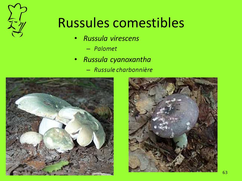 Russules comestibles Russula virescens Russula cyanoxantha Palomet