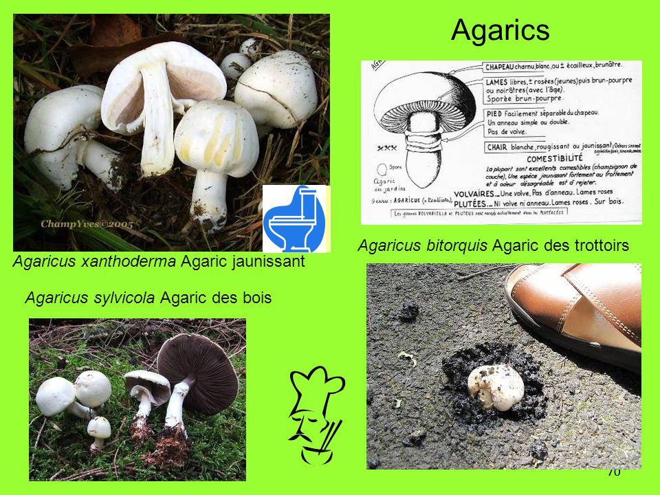 Agarics Agaricus bitorquis Agaric des trottoirs