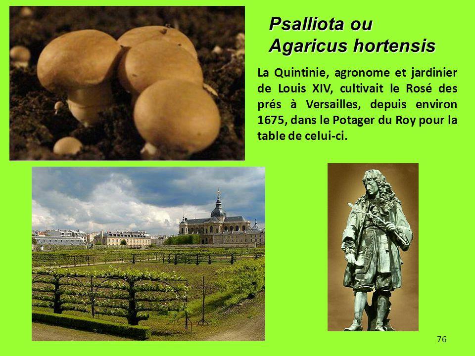 Psalliota ou Agaricus hortensis