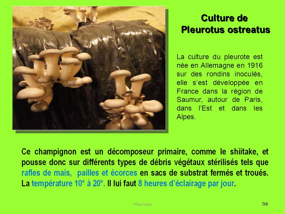 Culture de Pleurotus ostreatus