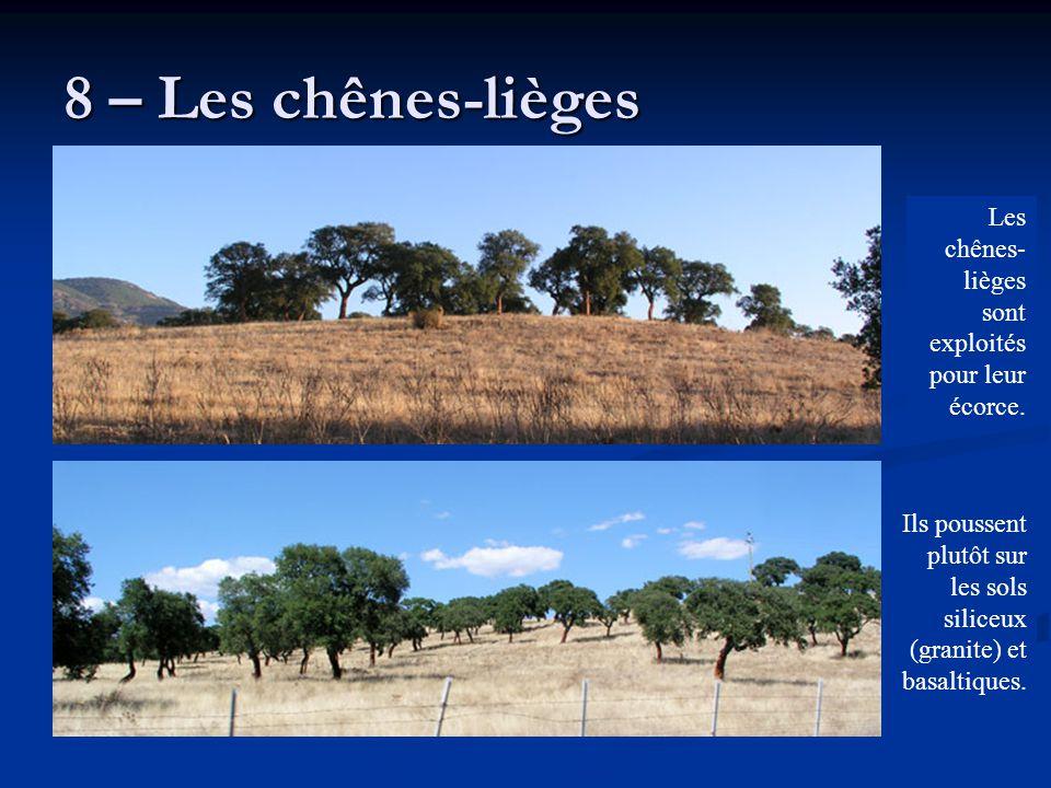 8 – Les chênes-lièges Les chênes-lièges sont exploités pour leur écorce.