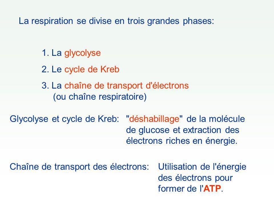 La respiration se divise en trois grandes phases: