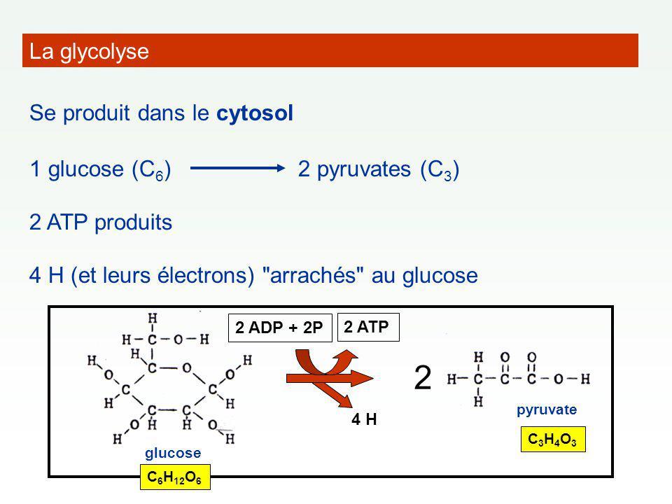 2 La glycolyse Se produit dans le cytosol 1 glucose (C6)