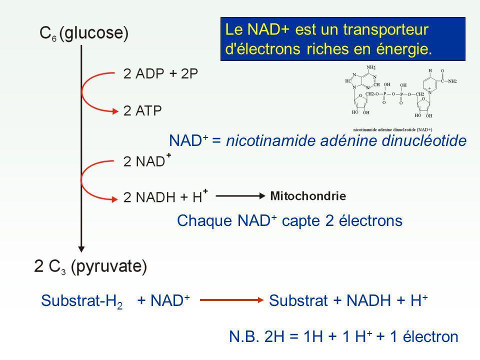 Le NAD+ est un transporteur d électrons riches en énergie.