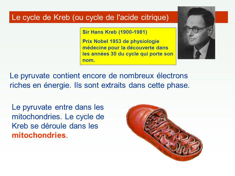 Le cycle de Kreb (ou cycle de l acide citrique)