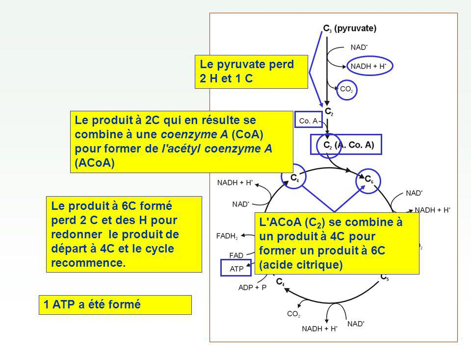 Le pyruvate perd 2 H et 1 C Le produit à 2C qui en résulte se combine à une coenzyme A (CoA) pour former de l acétyl coenzyme A (ACoA)