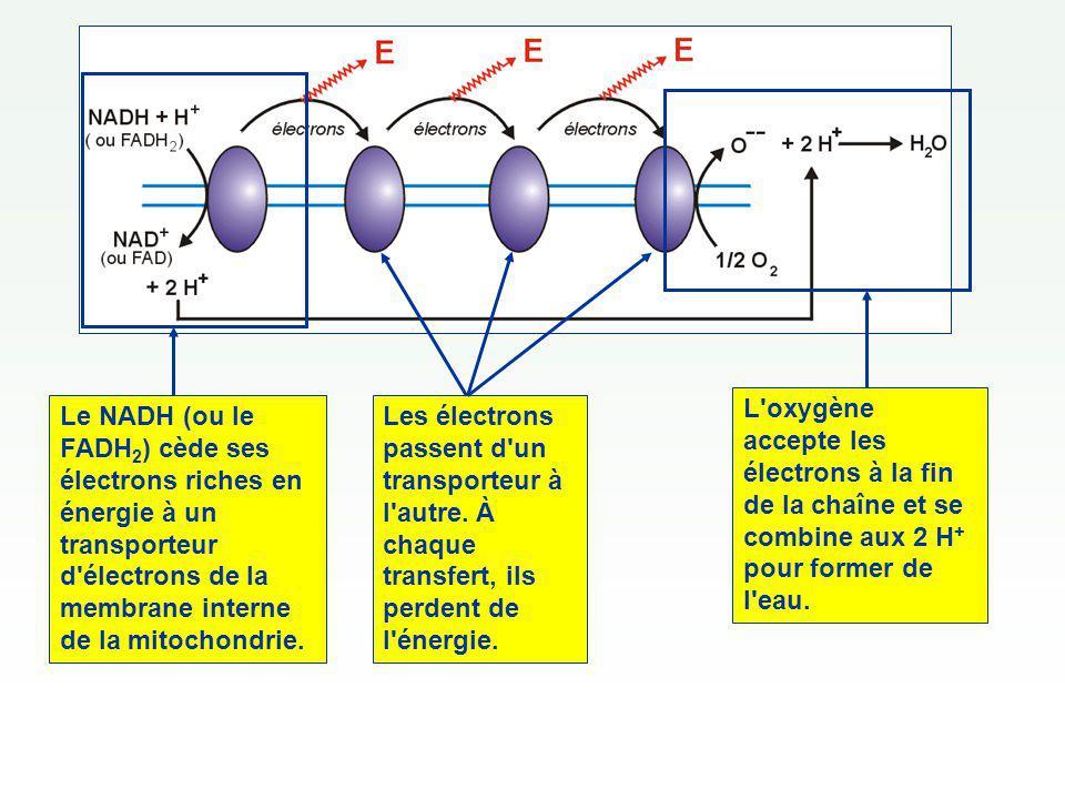 Le NADH (ou le FADH2) cède ses électrons riches en énergie à un transporteur d électrons de la membrane interne de la mitochondrie.