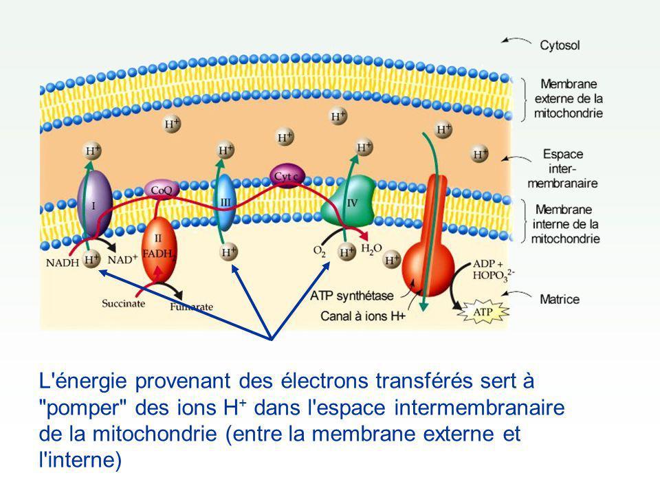 L énergie provenant des électrons transférés sert à pomper des ions H+ dans l espace intermembranaire de la mitochondrie (entre la membrane externe et l interne)