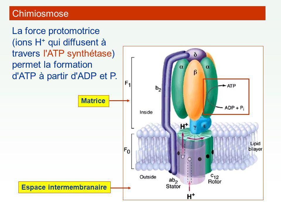 Chimiosmose La force protomotrice (ions H+ qui diffusent à travers l ATP synthétase) permet la formation d ATP à partir d ADP et P.