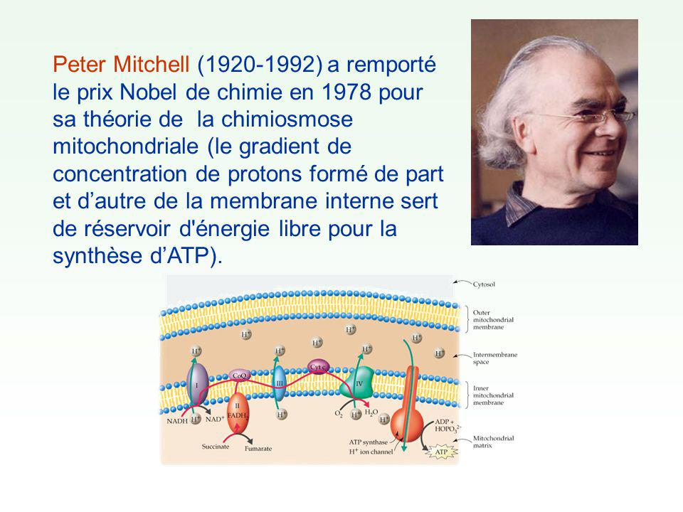 Peter Mitchell (1920-1992) a remporté le prix Nobel de chimie en 1978 pour sa théorie de la chimiosmose mitochondriale (le gradient de concentration de protons formé de part et d'autre de la membrane interne sert de réservoir d énergie libre pour la synthèse d'ATP).
