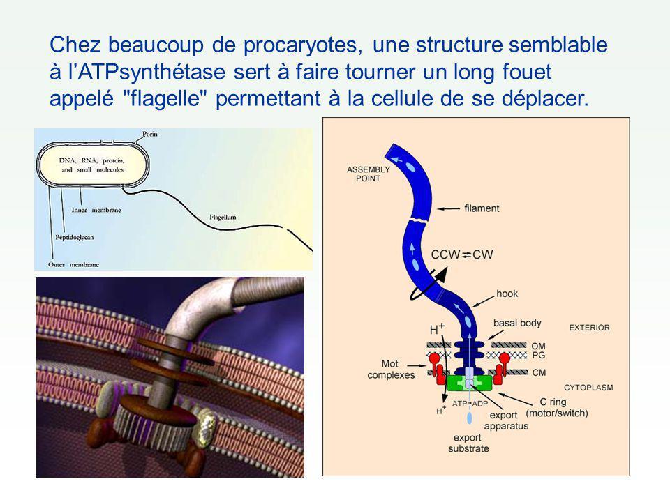 Chez beaucoup de procaryotes, une structure semblable à l'ATPsynthétase sert à faire tourner un long fouet appelé flagelle permettant à la cellule de se déplacer.