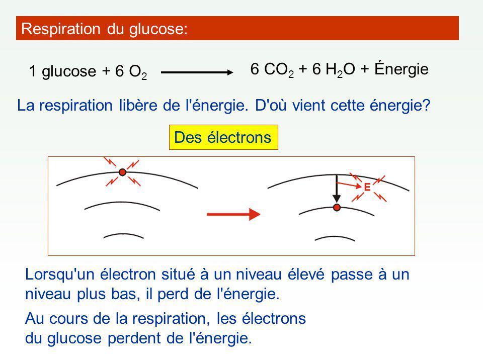 Respiration du glucose: