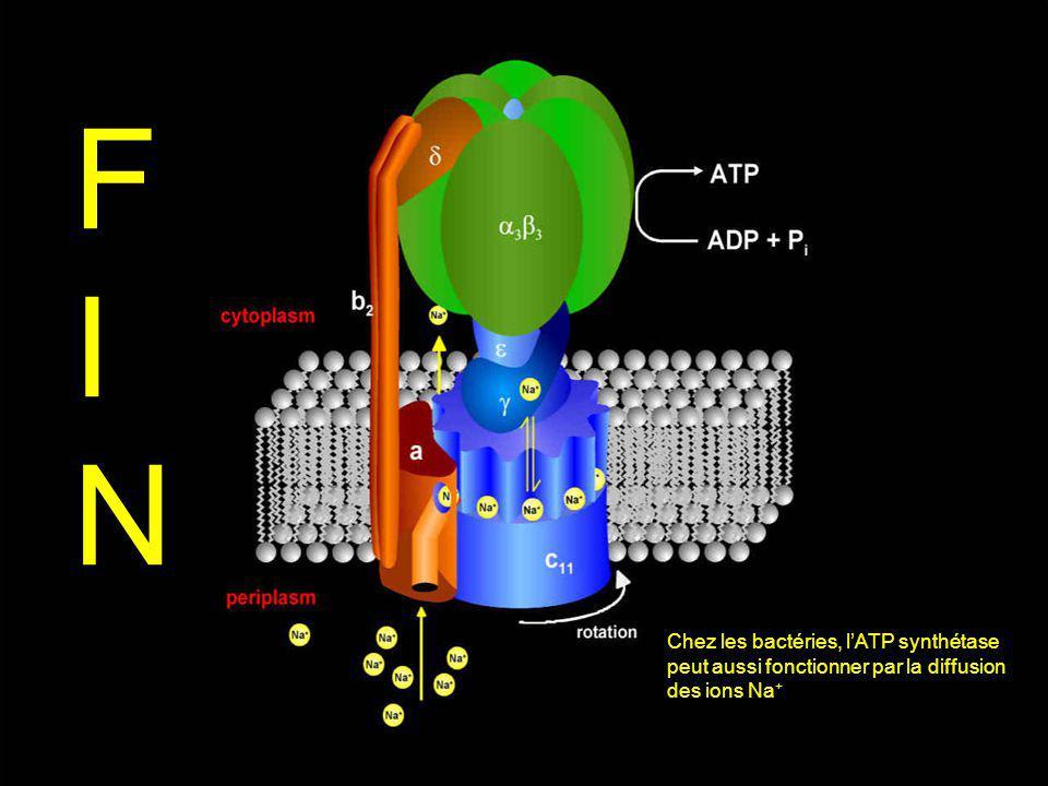 FIN Chez les bactéries, l'ATP synthétase peut aussi fonctionner par la diffusion des ions Na+