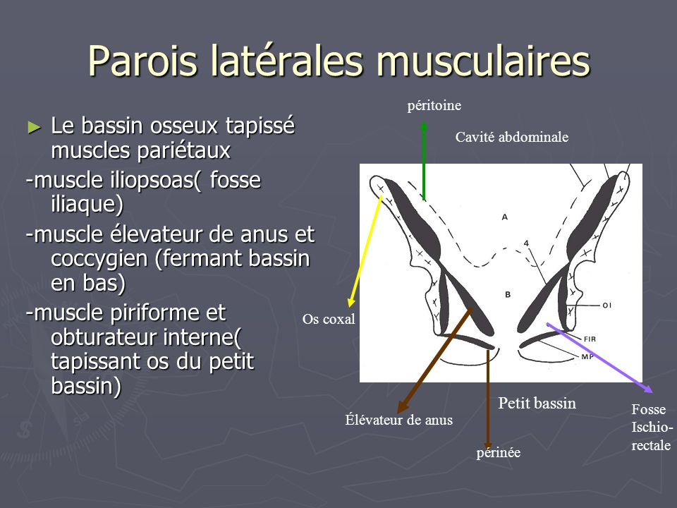 Parois latérales musculaires