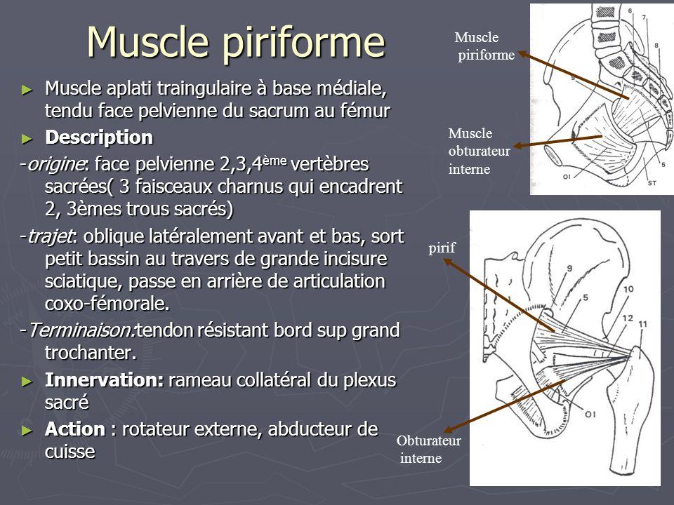 Muscle piriforme Muscle. piriforme. Muscle aplati traingulaire à base médiale, tendu face pelvienne du sacrum au fémur.