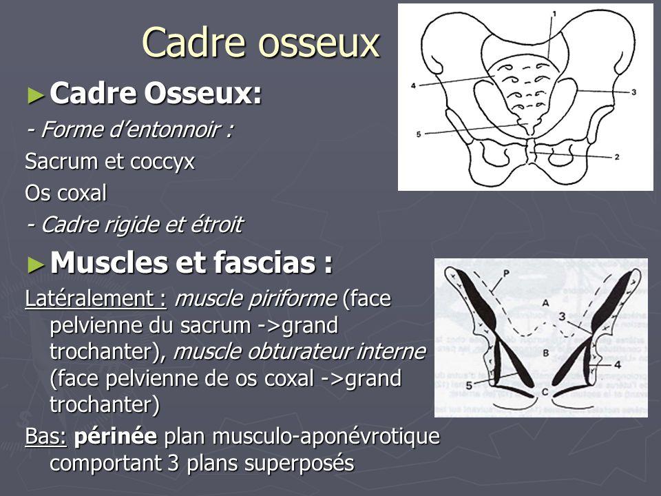 Cadre osseux Cadre Osseux: Muscles et fascias : - Forme d'entonnoir :