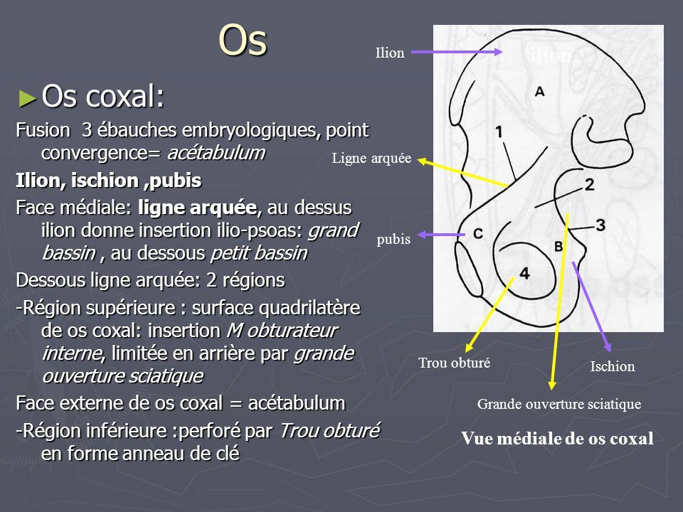 Os Ilion. ilion. Os coxal: Fusion 3 ébauches embryologiques, point convergence= acétabulum. Ilion, ischion ,pubis.