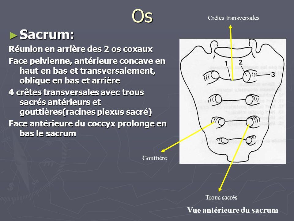 Os Sacrum: Réunion en arrière des 2 os coxaux
