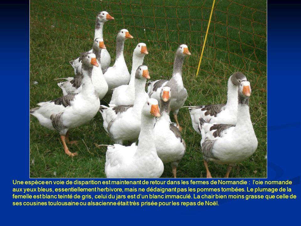 Une espèce en voie de disparition est maintenant de retour dans les fermes de Normandie : l'oie normande aux yeux bleus, essentiellement herbivore, mais ne dédaignant pas les pommes tombées.