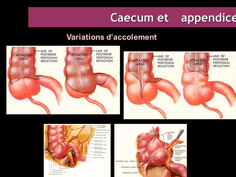 Caecum et appendice Variations d'accolement