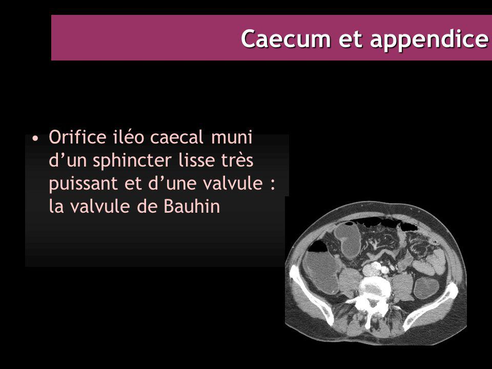 Caecum et appendice Orifice iléo caecal muni d'un sphincter lisse très puissant et d'une valvule : la valvule de Bauhin.