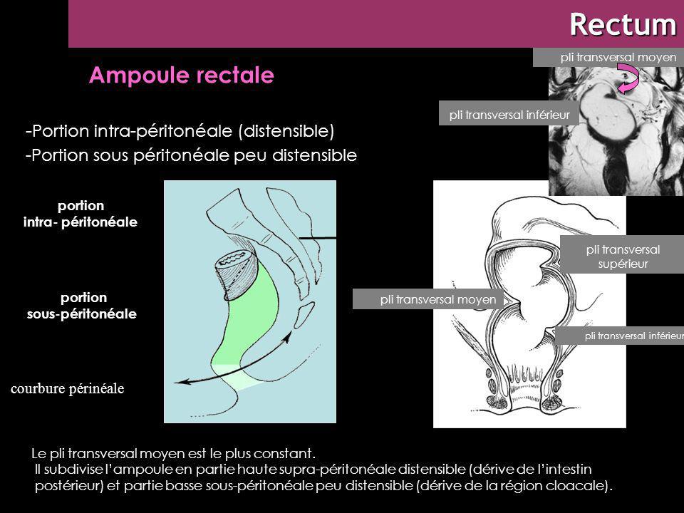 Rectum Rectum : morphologie externe
