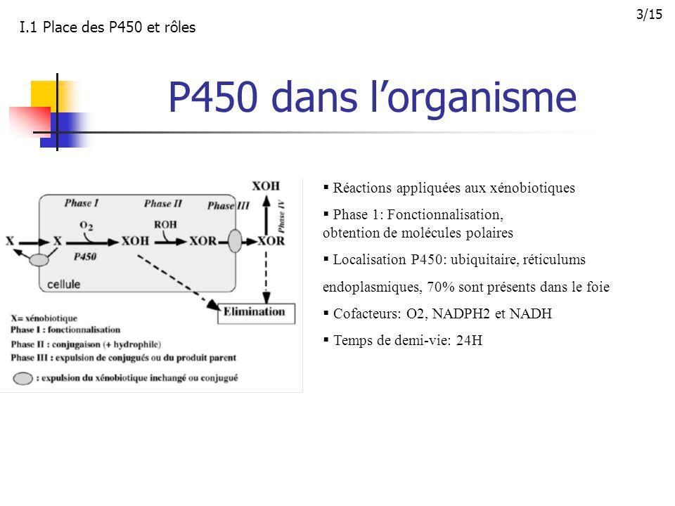 P450 dans l'organisme I.1 Place des P450 et rôles