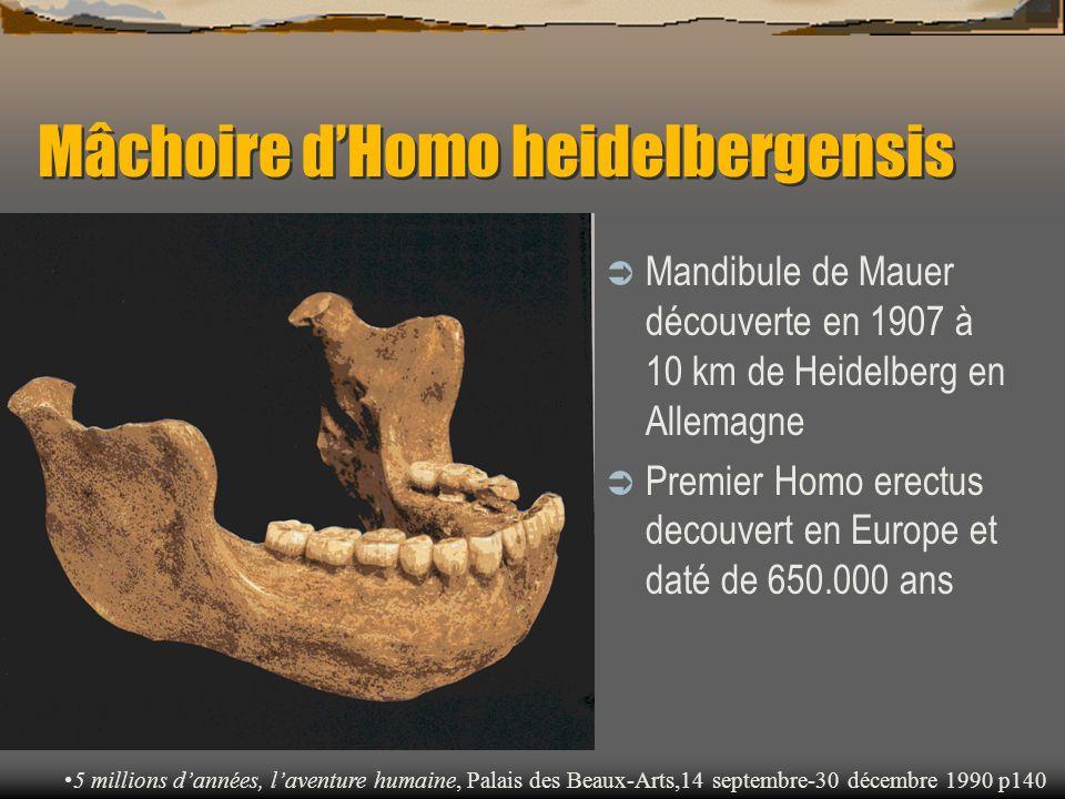 Mâchoire d'Homo heidelbergensis
