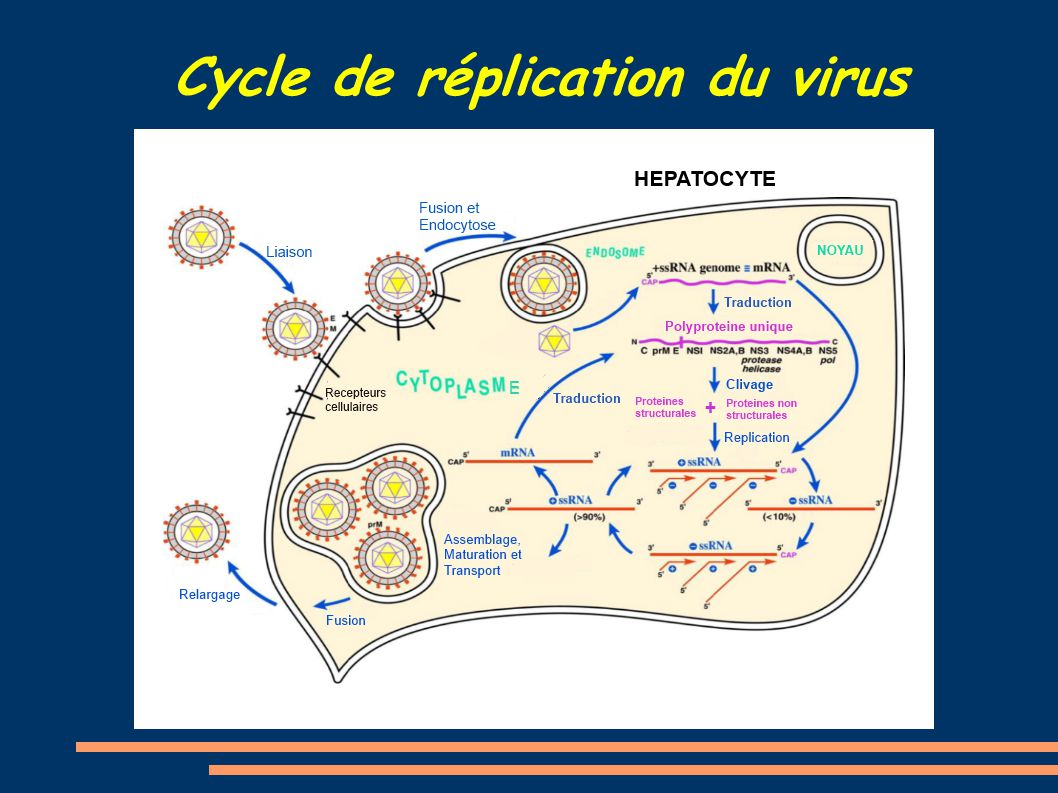 Cycle de réplication du virus