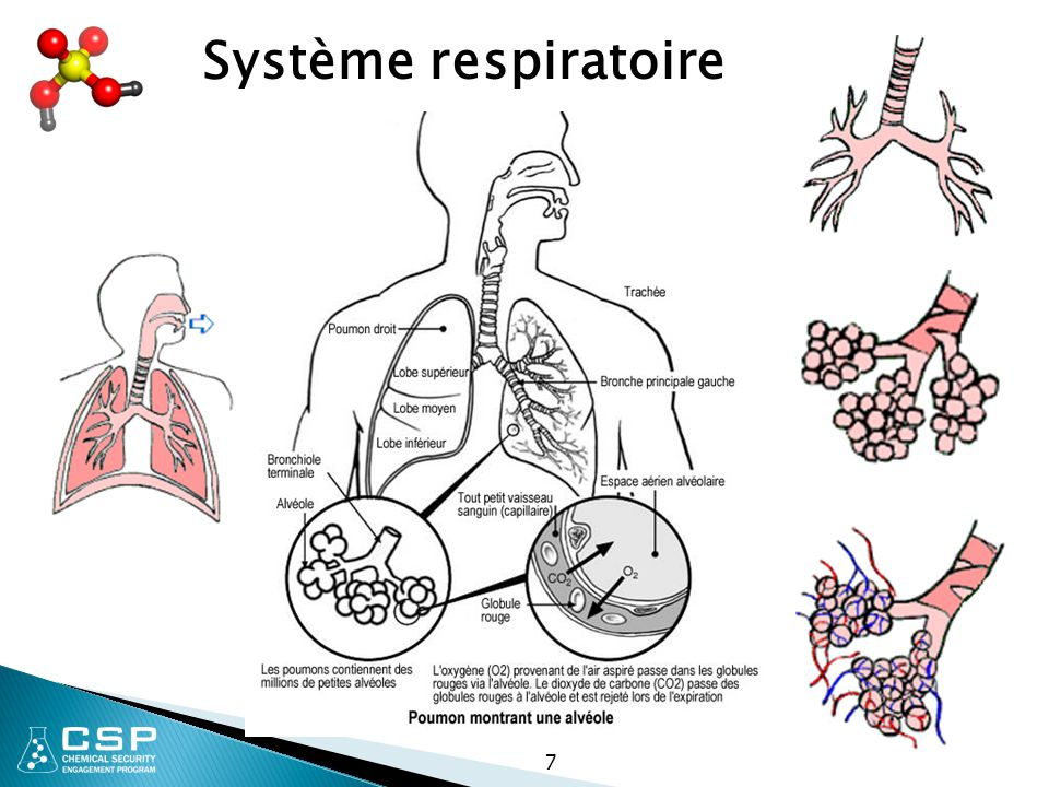 Système respiratoire 7