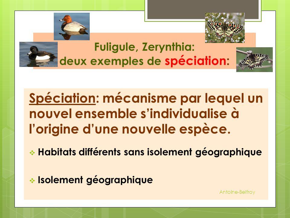 Fuligule, Zerynthia: deux exemples de spéciation: