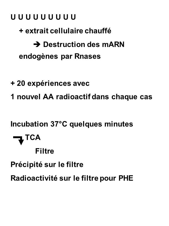 U U U U U U U U U + extrait cellulaire chauffé.  Destruction des mARN endogènes par Rnases. + 20 expériences avec.