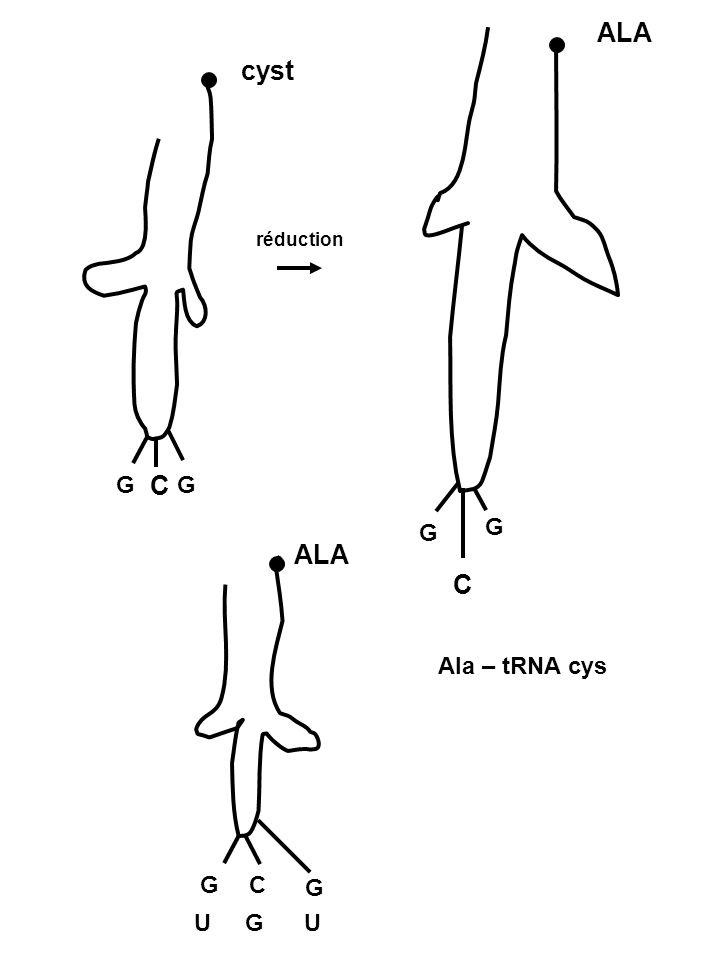ALA cyst réduction G C G G G ALA C Ala – tRNA cys G C G U G U