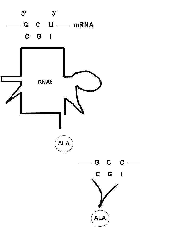 5 3  G C U  mRNA. C G I. RNAt. ALA.  G C C  C G I.