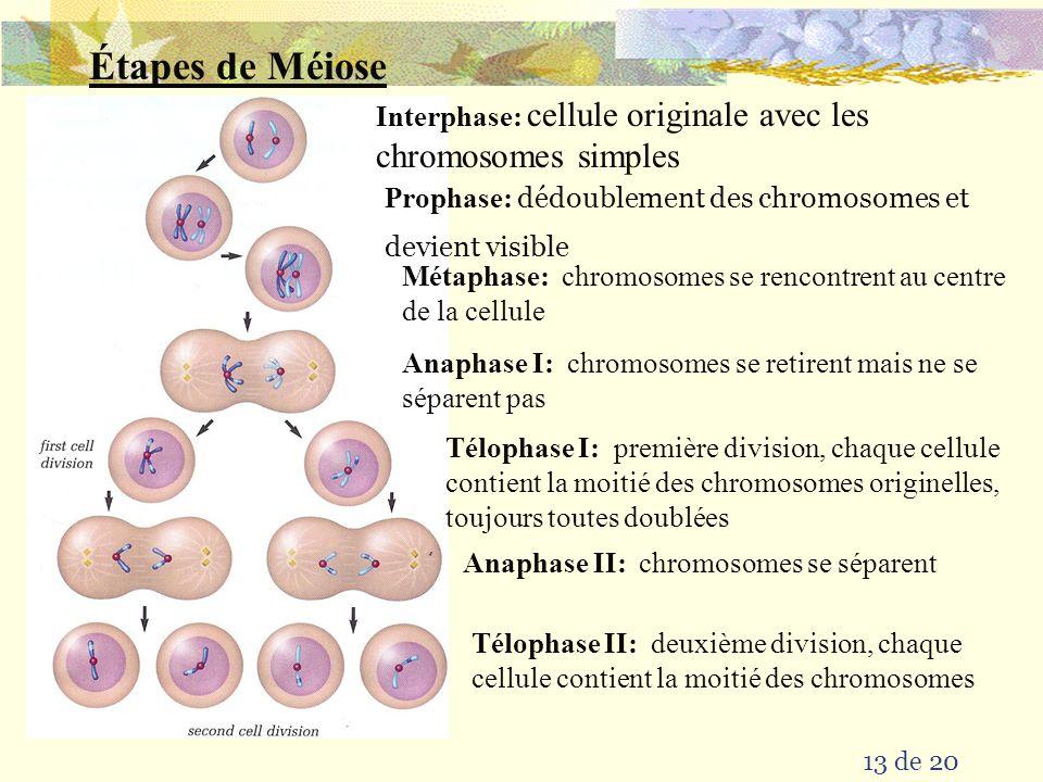 Étapes de Méiose Interphase: cellule originale avec les chromosomes simples. Prophase: dédoublement des chromosomes et devient visible.